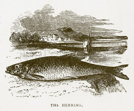 The Herring. Illustration for Aunt Louisa's Book of Common Things by L Valentine (Frederick Warne, c 1880).