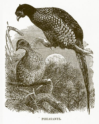 Pheasants. Illustration for Aunt Louisa's Book of Common Things by L Valentine (Frederick Warne, c 1880).