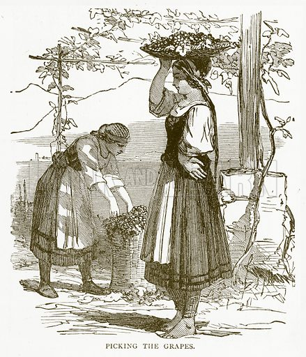 Picking the Grapes. Illustration for Aunt Louisa's Book of Common Things by L Valentine (Frederick Warne, c 1880).