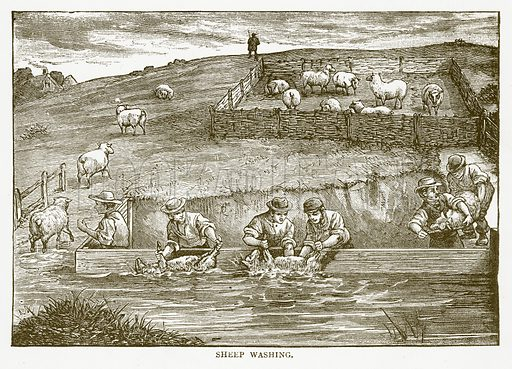 Sheep Washing. Illustration for Aunt Louisa's Book of Common Things by L Valentine (Frederick Warne, c 1880).