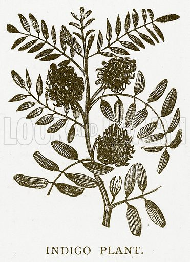 Indigo Plant. Illustration for Aunt Louisa's Book of Common Things by L Valentine (Frederick Warne, c 1880).