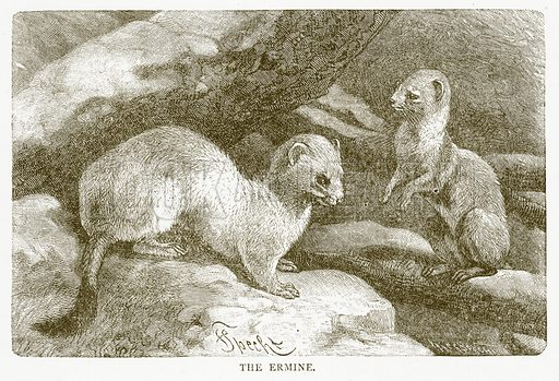 The Ermine. Illustration for Aunt Louisa's Book of Common Things by L Valentine (Frederick Warne, c 1880).