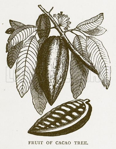Fruit of Cacao Tree. Illustration for Aunt Louisa's Book of Common Things by L Valentine (Frederick Warne, c 1880).