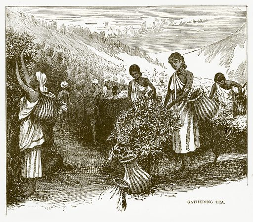 Gathering Tea. Illustration for Aunt Louisa's Book of Common Things by L Valentine (Frederick Warne, c 1880).