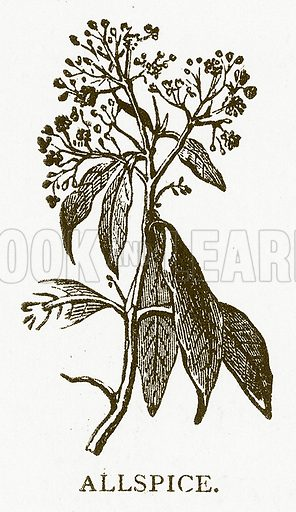 Allspice. Illustration for Aunt Louisa's Book of Common Things by L Valentine (Frederick Warne, c 1880).