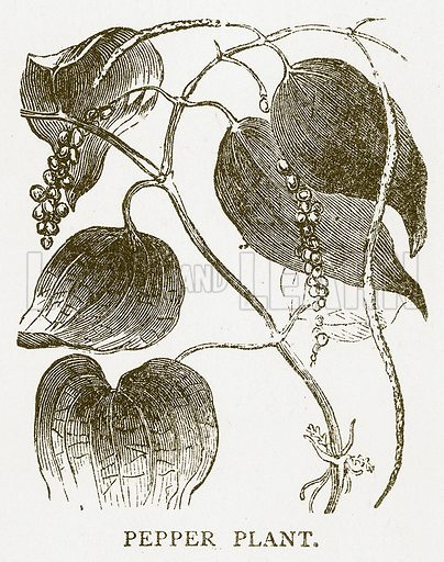 Pepper Plant. Illustration for Aunt Louisa's Book of Common Things by L Valentine (Frederick Warne, c 1880).
