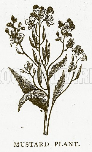 Mustard Plant. Illustration for Aunt Louisa's Book of Common Things by L Valentine (Frederick Warne, c 1880).