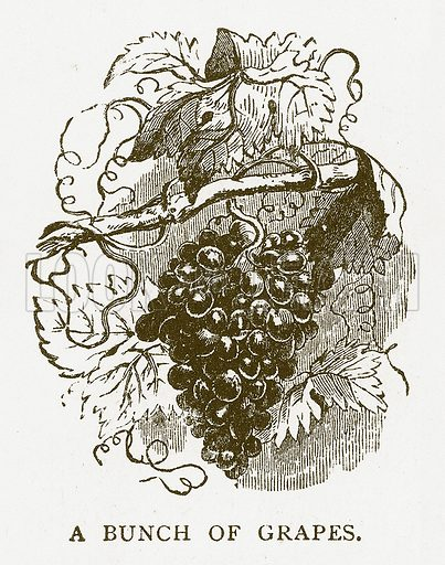A Bunch of Grapes. Illustration for Aunt Louisa's Book of Common Things by L Valentine (Frederick Warne, c 1880).