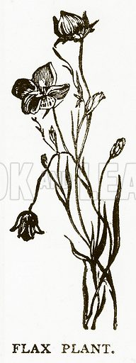 Flax Plant. Illustration for Aunt Louisa's Book of Common Things by L Valentine (Frederick Warne, c 1880).