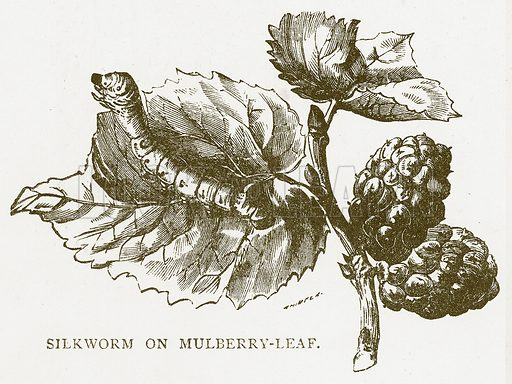 Silkworm on Mulberry-Leaf. Illustration for Aunt Louisa's Book of Common Things by L Valentine (Frederick Warne, c 1880).