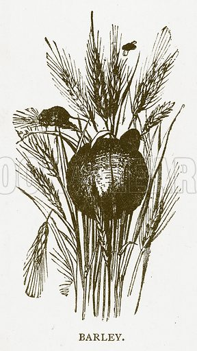 Barley. Illustration for Aunt Louisa's Book of Common Things by L Valentine (Frederick Warne, c 1880).