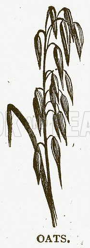 Oats. Illustration for Aunt Louisa's Book of Common Things by L Valentine (Frederick Warne, c 1880).