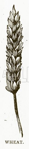 Wheat. Illustration for Aunt Louisa's Book of Common Things by L Valentine (Frederick Warne, c 1880).