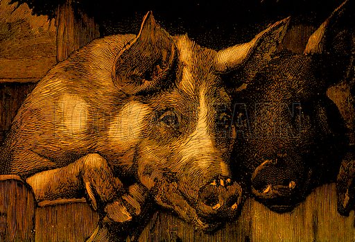 Pigs in a manger. Nineteenth century comic picture reprinted in an edition of Cole's Funny Picture Book.