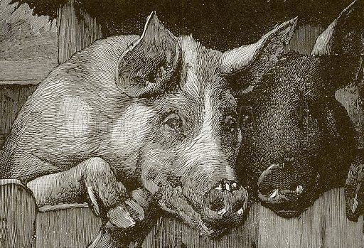 Pigs in a manger