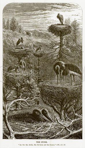 The Stork. Illustration for Bible Animals by JG Wood (Longmans, 1876).