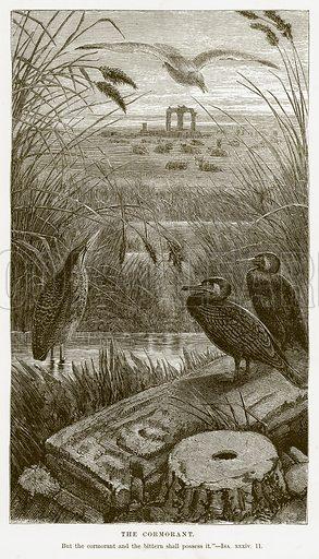 The Cormorant. Illustration for Bible Animals by JG Wood (Longmans, 1876).
