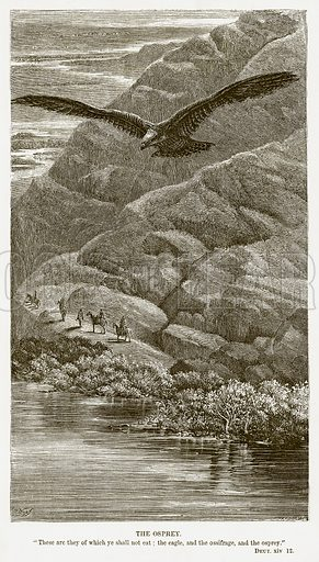 The Osprey. Illustration for Bible Animals by JG Wood (Longmans, 1876).