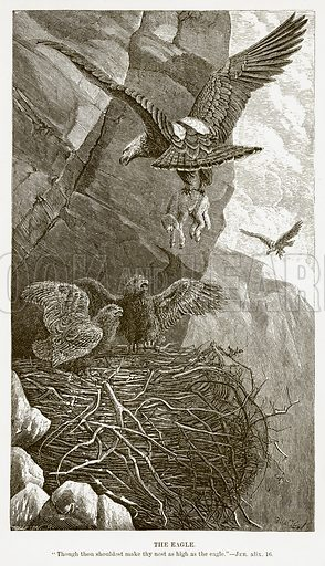 The Eagle. Illustration for Bible Animals by JG Wood (Longmans, 1876).