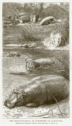 The Hippopotamus, or Behemoth of Scripture. Illustration for Bible Animals by JG Wood (Longmans, 1876).