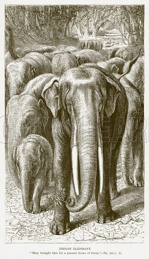 Indian Elephant. Illustration for Bible Animals by JG Wood (Longmans, 1876).