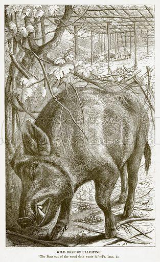 Wild Boar of Palestine. Illustration for Bible Animals by JG Wood (Longmans, 1876).