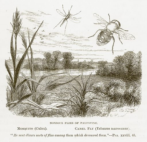 Noxious Flies of Palestine. Mosquito (Culex). Camel Fly (Tabanus Marocanus). Illustration for Bible Animals by JG Wood (Longmans, 1876).
