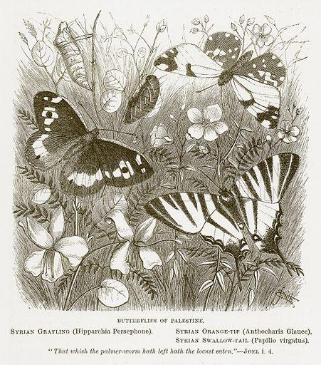 Butterflies of Palestine. Syrian Grayling (Hipparchia Persephone). Syrian Orange-Tip (Anthocharis Glauce). Syrian Swallow-Tail (Pailio Virgatus). Illustration for Bible Animals by JG Wood (Longmans, 1876).