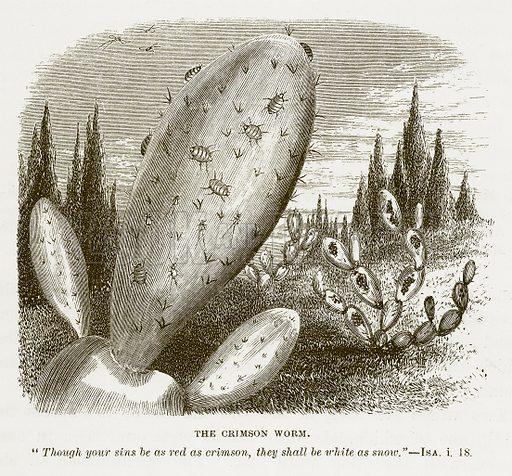 The Crimson Worm. Illustration for Bible Animals by JG Wood (Longmans, 1876).
