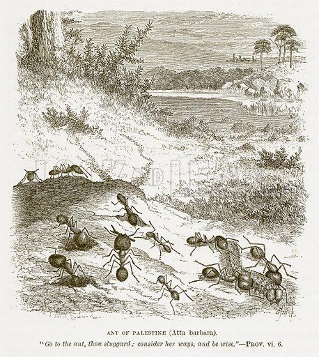 Ant of Palestine (Atta Barbara). Illustration for Bible Animals by JG Wood (Longmans, 1876).