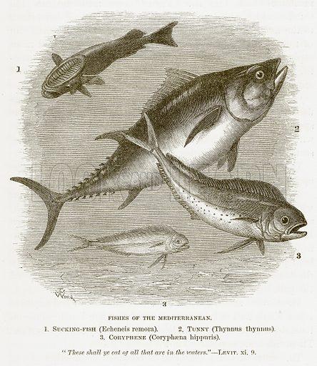 Fishes of the Mediterranean. 1. Sucking-Fish (Echeneis Remora). 2. Tunny (Thynnus Thynnus). 3. Coryphene (Coryphaena Hippuris). Illustration for Bible Animals by JG Wood (Longmans, 1876).