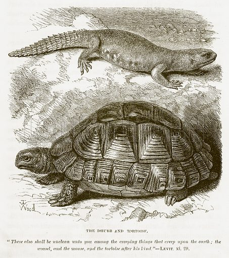 The Dhubb and Tortoisf. Illustration for Bible Animals by JG Wood (Longmans, 1876).