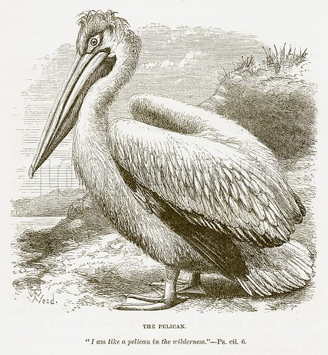 The Pelican. Illustration for Bible Animals by JG Wood (Longmans, 1876).