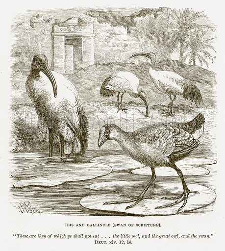 Ibis and Gallinule (Swan of Scripture). Illustration for Bible Animals by JG Wood (Longmans, 1876).