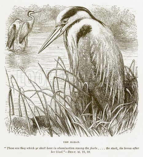 The Heron. Illustration for Bible Animals by JG Wood (Longmans, 1876).