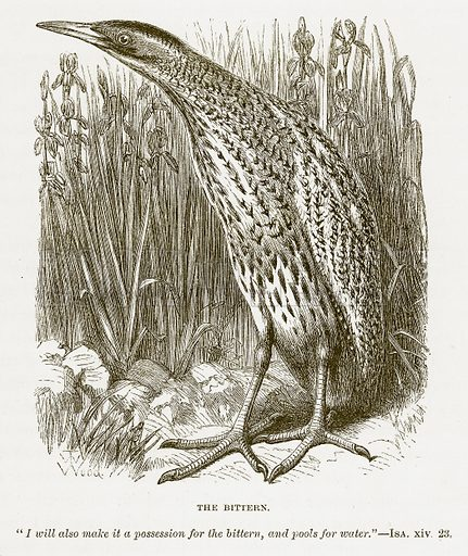 The Bittern. Illustration for Bible Animals by JG Wood (Longmans, 1876).