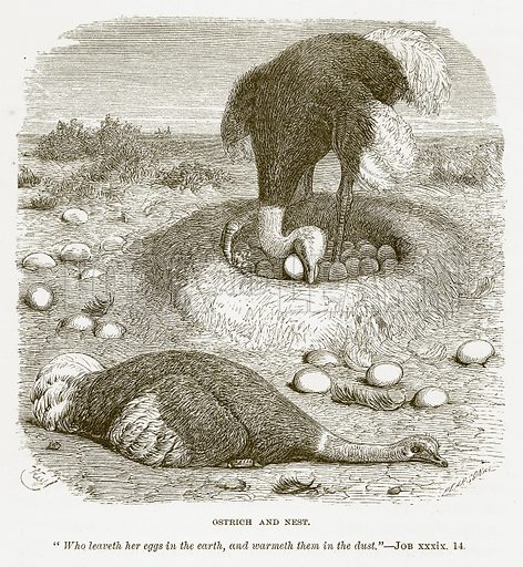 Ostrich and Nest. Illustration for Bible Animals by JG Wood (Longmans, 1876).