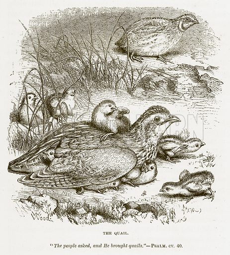 The Quail. Illustration for Bible Animals by JG Wood (Longmans, 1876).