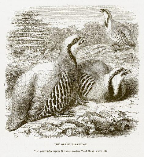 The Greek Partridge. Illustration for Bible Animals by JG Wood (Longmans, 1876).