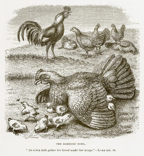 The Domestic Fowl. Illustration for Bible Animals by JG Wood (Longmans, 1876).