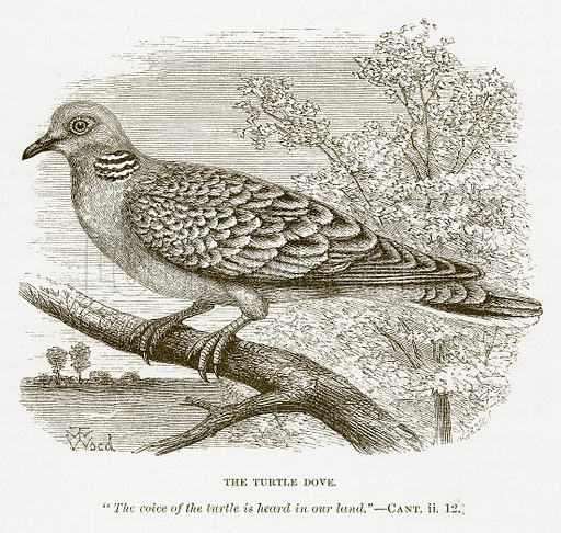 The Turtle Dove. Illustration for Bible Animals by JG Wood (Longmans, 1876).
