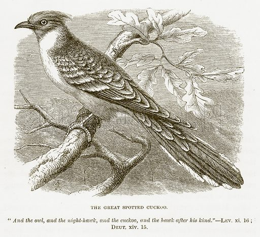 The Great Spotted Cuckoo. Illustration for Bible Animals by JG Wood (Longmans, 1876).