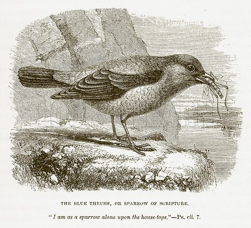 The Blue Thrush, or Sparrow of Scripture. Illustration for Bible Animals by JG Wood (Longmans, 1876).