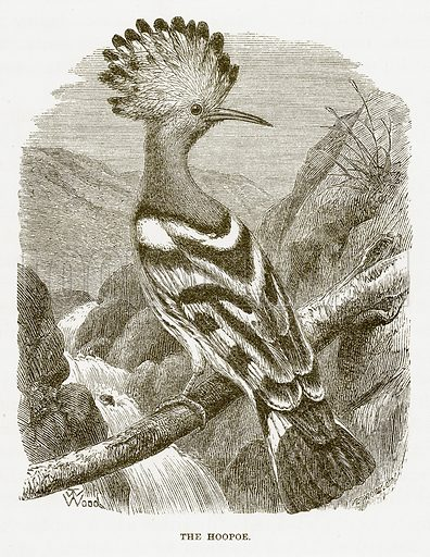 The Hoopoe. Illustration for Bible Animals by JG Wood (Longmans, 1876).
