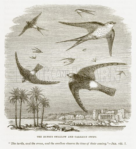 The Rufous Swallow and Galilean Swift. Illustration for Bible Animals by JG Wood (Longmans, 1876).