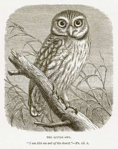 The Little Owl. Illustration for Bible Animals by JG Wood (Longmans, 1876).