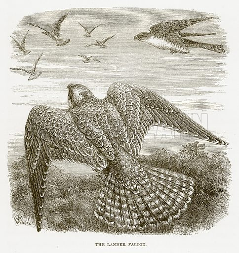 The Lanner Falcon. Illustration for Bible Animals by JG Wood (Longmans, 1876).