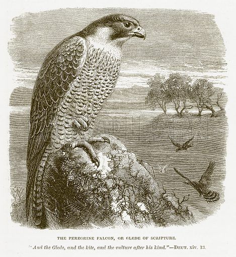 The Peregrine Falcon, or Glede of Scripture. Illustration for Bible Animals by JG Wood (Longmans, 1876).