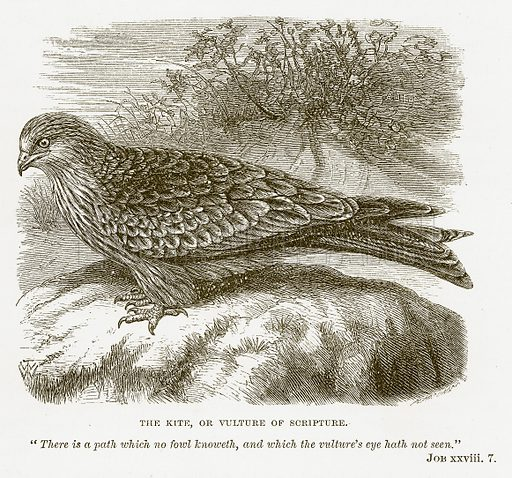 The Kite, or Vulture of Scripture. Illustration for Bible Animals by JG Wood (Longmans, 1876).