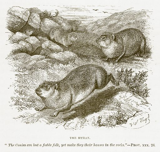 The Hyrax. Illustration for Bible Animals by JG Wood (Longmans, 1876).